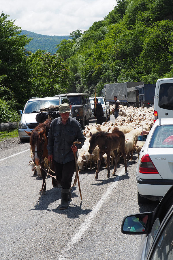 Sheep herding on the main highway