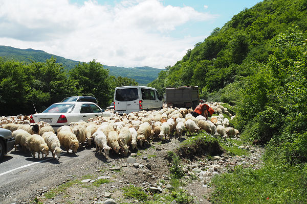 Herding on the main highway
