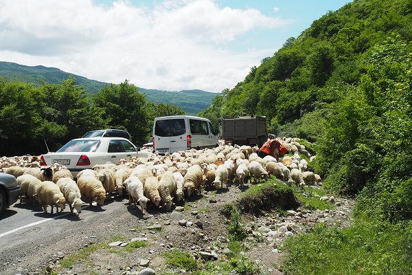 Herding on the main highway