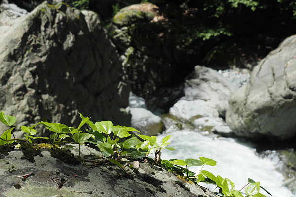 Vine on a rock