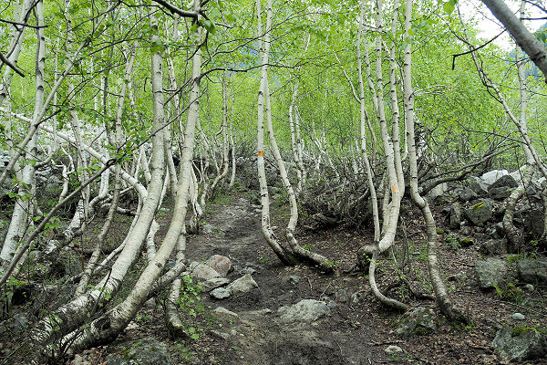 Silver birch - bent trunks from growing through the weight of the snow when young?