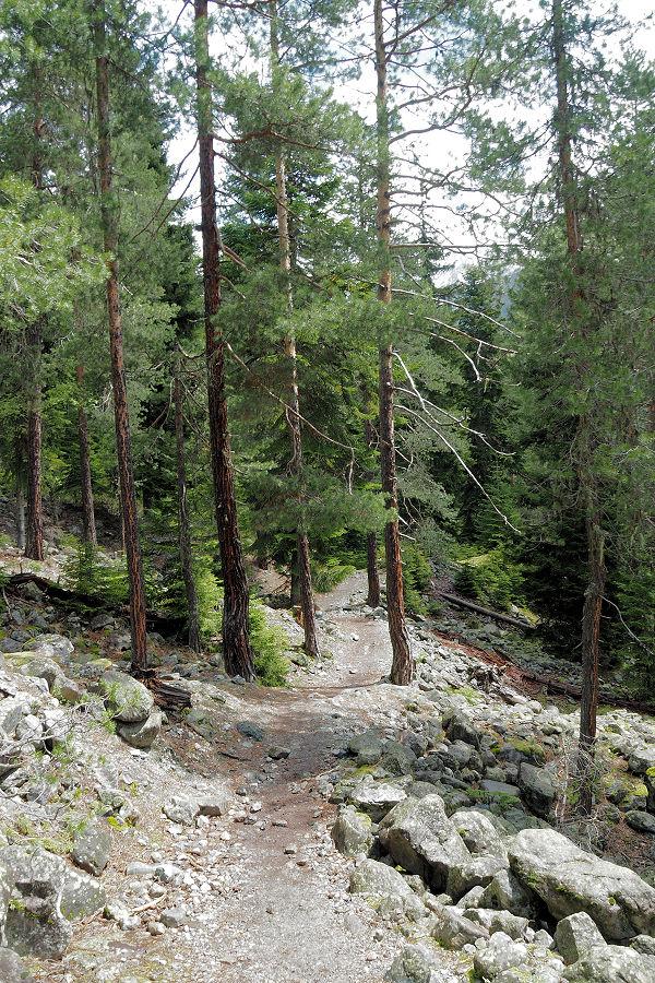 Conifers...love them